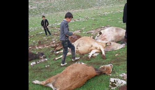 Yıldırım 15 ineği öldürdü